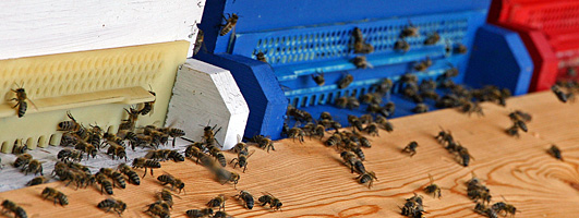 Mit der Biene blüht das Leben