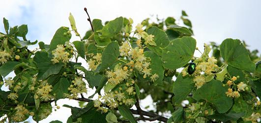 Lindenbäume in Mils bei Imst