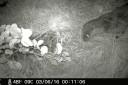 Fischotter unterwegs um Mitternacht